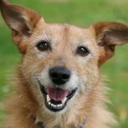 een afbeelding van een vrolijke hond op een open veld die glimlachend en genietend in de camera kijkt.
