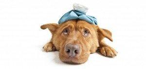 een mooie volwassen hond die droevig in de camera kijkt. De afbeelding moet uitdragen dat de hond erg ziek is.